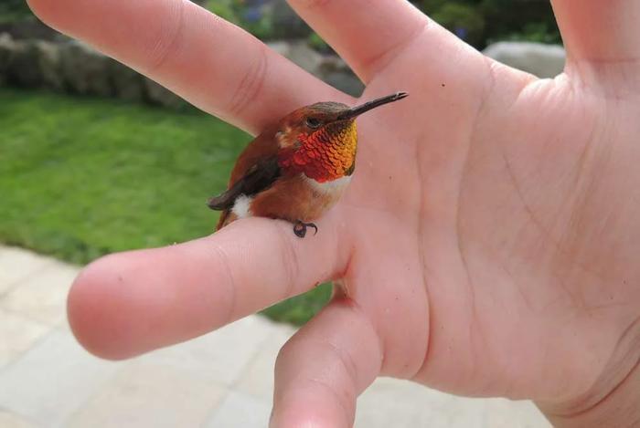 Колибри – описание, ареал, питание, размножение, фото и видео