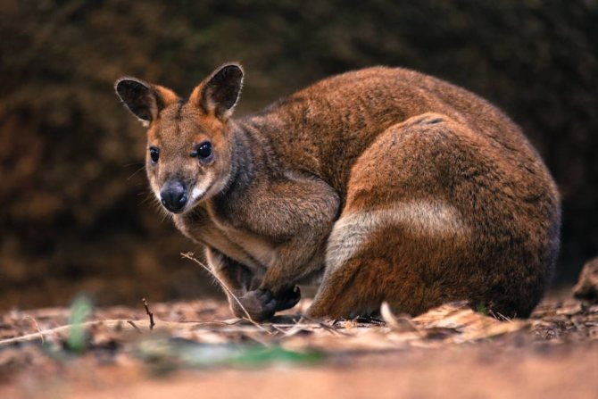 удивительные и интересные факты про кенгуру — общенет