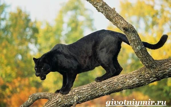 Черная пантера. образ жизни и среда обитания черной пантеры | животный мир