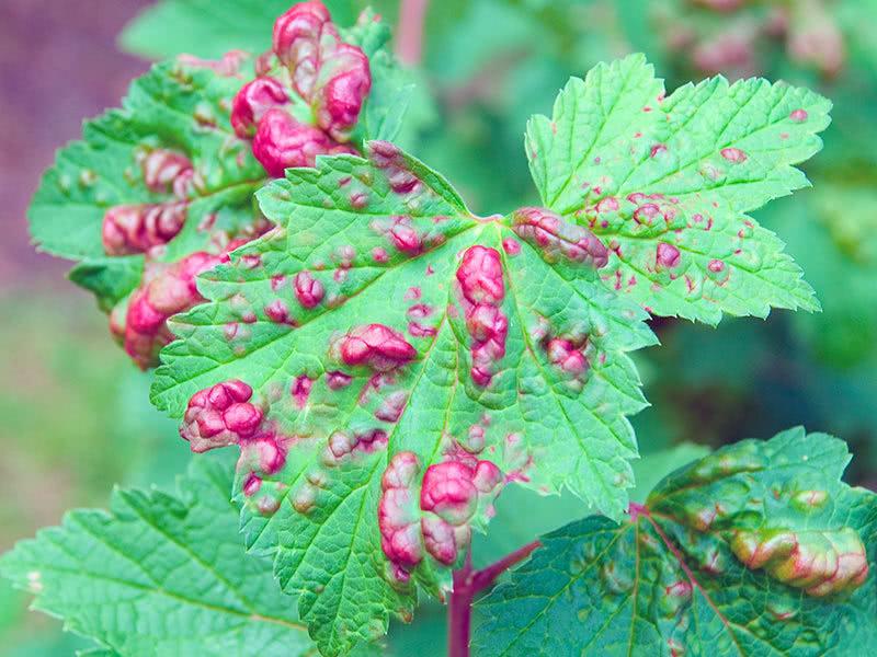 Болезни красной смородины, вызывающие красные пятна на листьях – дачные дела