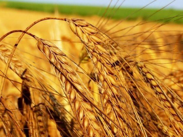 Какие получают крупы из пшеницы: виды и названия