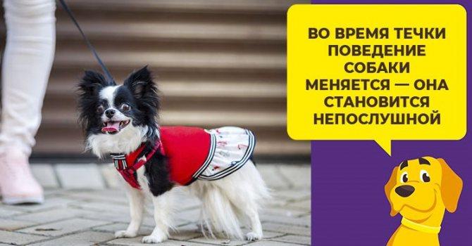 Течка у собак: сколько длится, как проявляется, правила ухода течка у собак: сколько длится, как проявляется, правила ухода