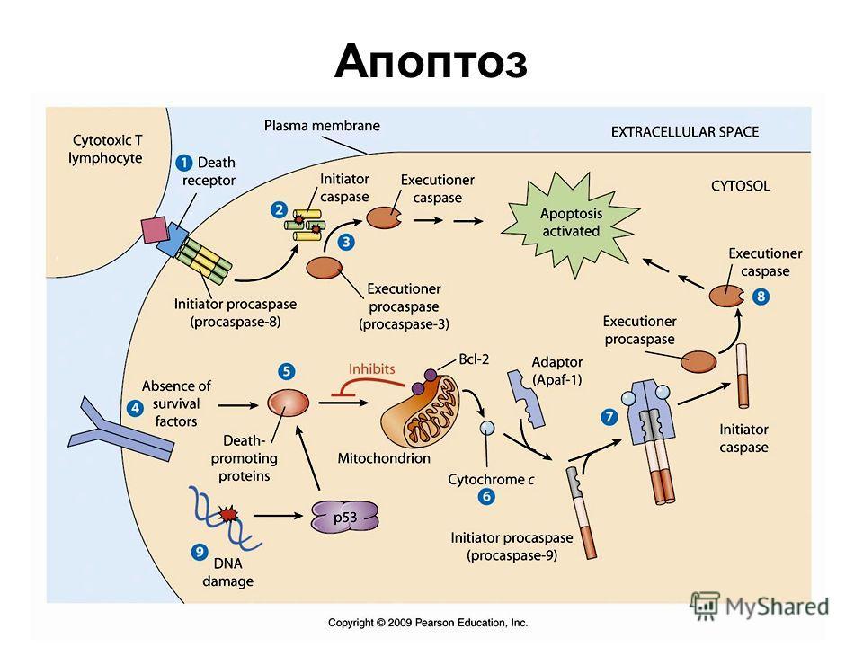 Апоптоз клетки: биологическая роль, механизм