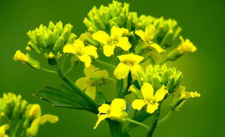 Сурепка обыкновенная: полезные и лечебные свойства травы, противопоказания