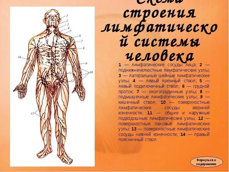 Схема направления движения лимфы лимфатической системы человека