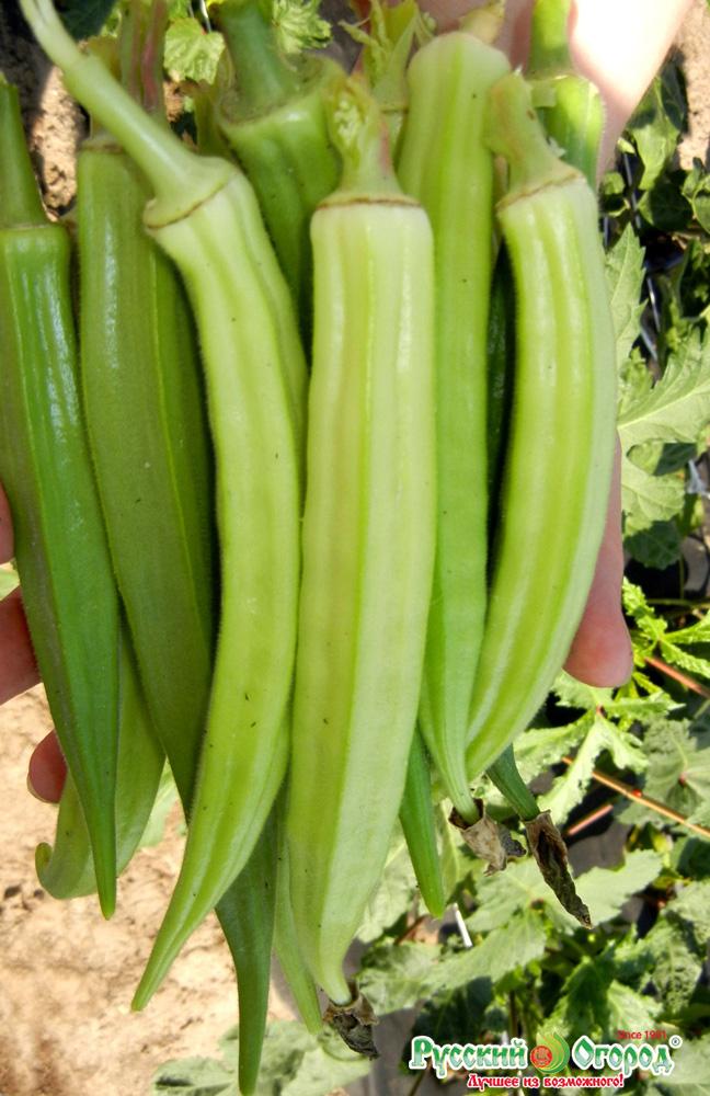 Овощ бамия: польза, пищевая ценность, история