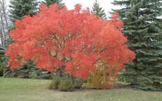 Дерево клен, описание, виды, где растет, использование, интересные факты