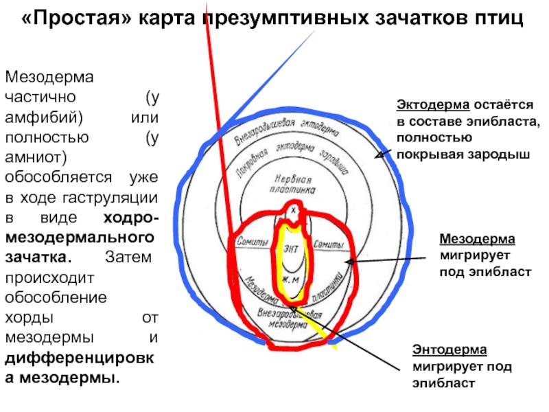 Мезодерма - это... определение, строение, развитие и особенности