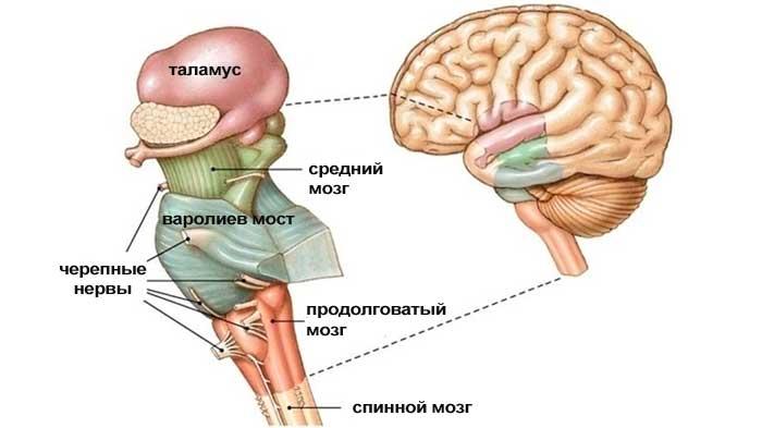 Стволовой инсульт: что это такое, прогноз выздоровления и симптомы