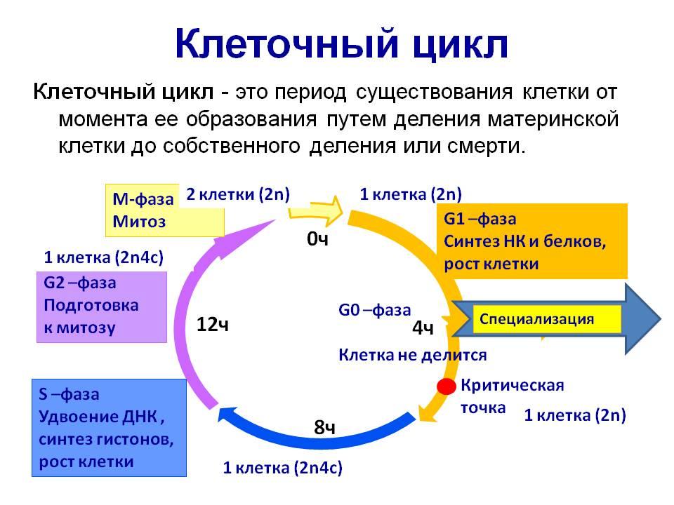 1.жизненный цикл клетки. размножение организмов