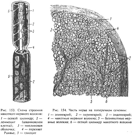 Нервная система - что это такое? какие функции у нервной системы?
