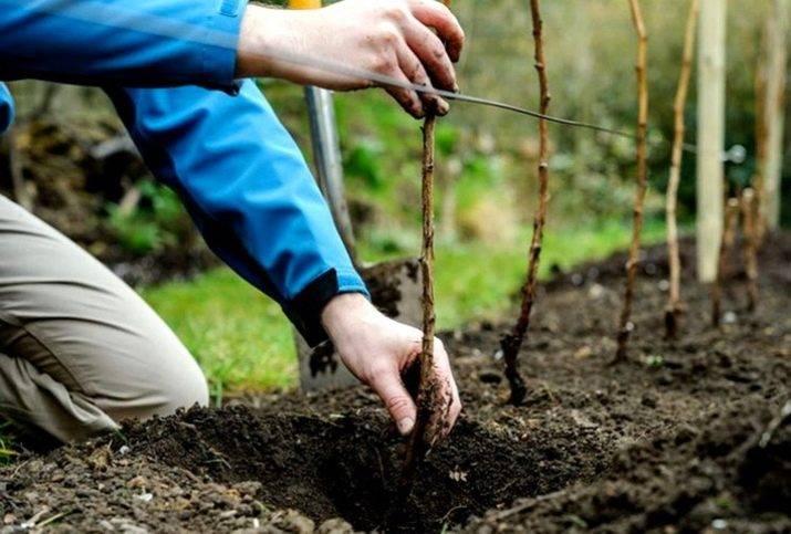 Малиновое дерево - сорта, посадка, уход