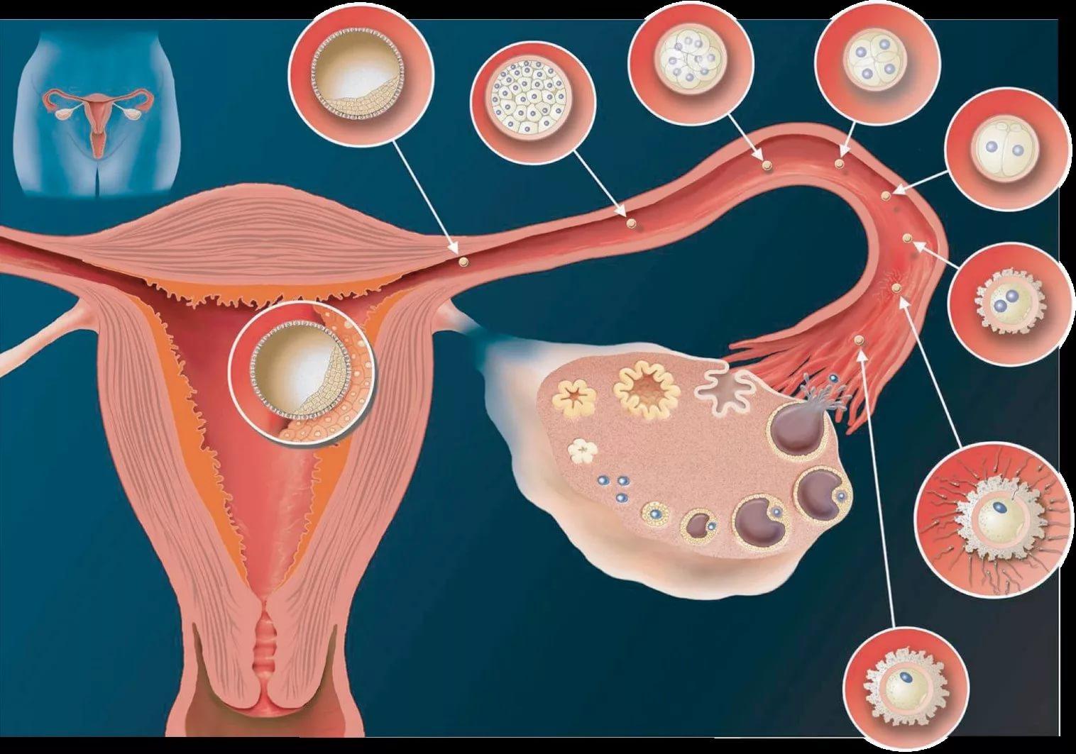 Полезные советы для здоровья женщины. все об овуляции