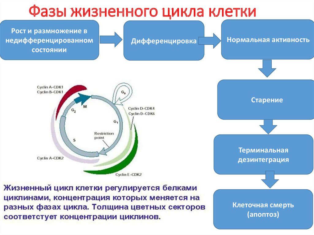 Характеристика, периоды и основные фазы клеточного цикла