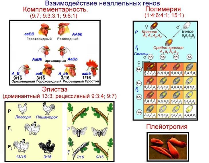 Взаимодействие неаллельных генов. эпистаз, его виды