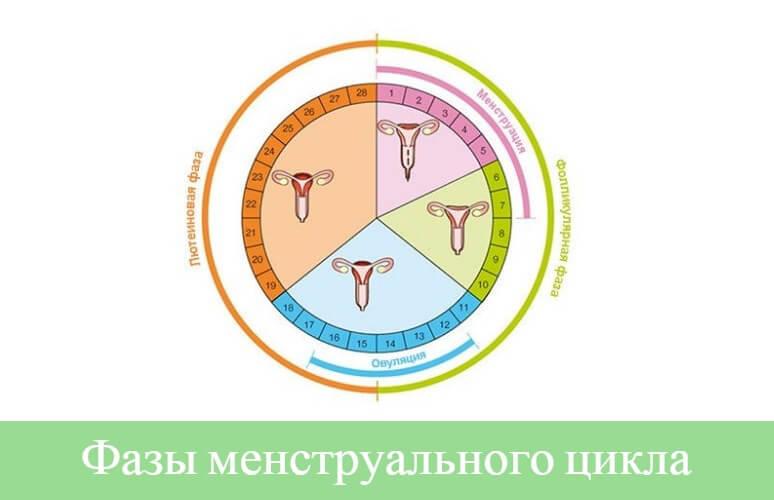 Сколько дней в нормальном цикле месячных у женщин: продолжительность, фазы