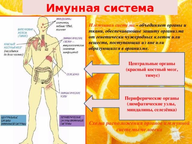 Иммунная система человека и ее органы