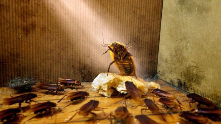 """Виды и разновидности тараканов - служба дезинфекции """"экоконтроль"""""""