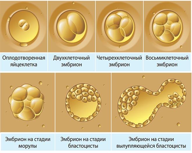 Эмбрион — википедия. что такое эмбрион
