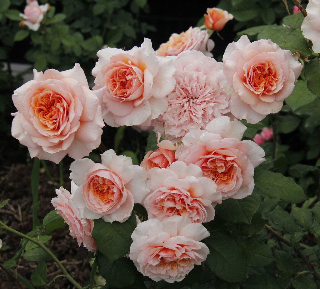 Выбираем сорт розы: флорибунда, плетистая, шраб?