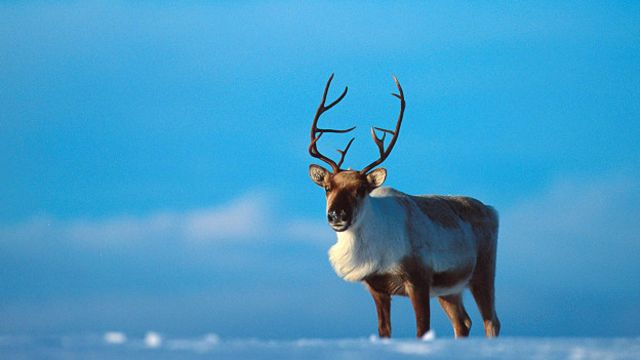 Благородный олень — википедия. что такое благородный олень