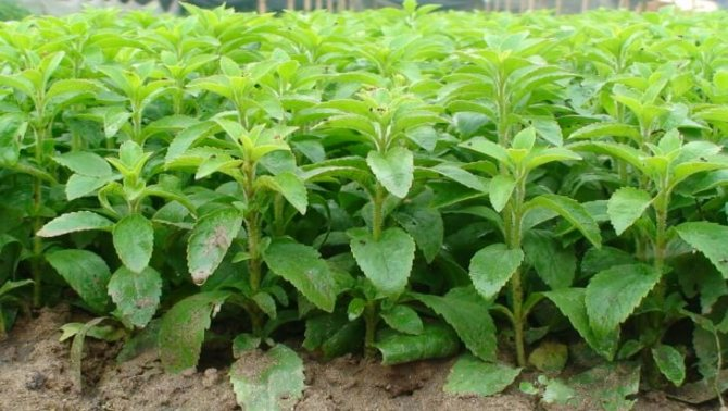 Трава стевия – природный сахарозаменитель