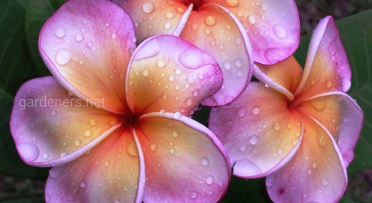 Цветок плюмерия: как вырастить из семян в домашних условиях, уход и посадка франжипани