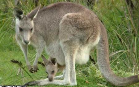 Ученые выяснили, когда появились кенгуру и почему они научились прыгать