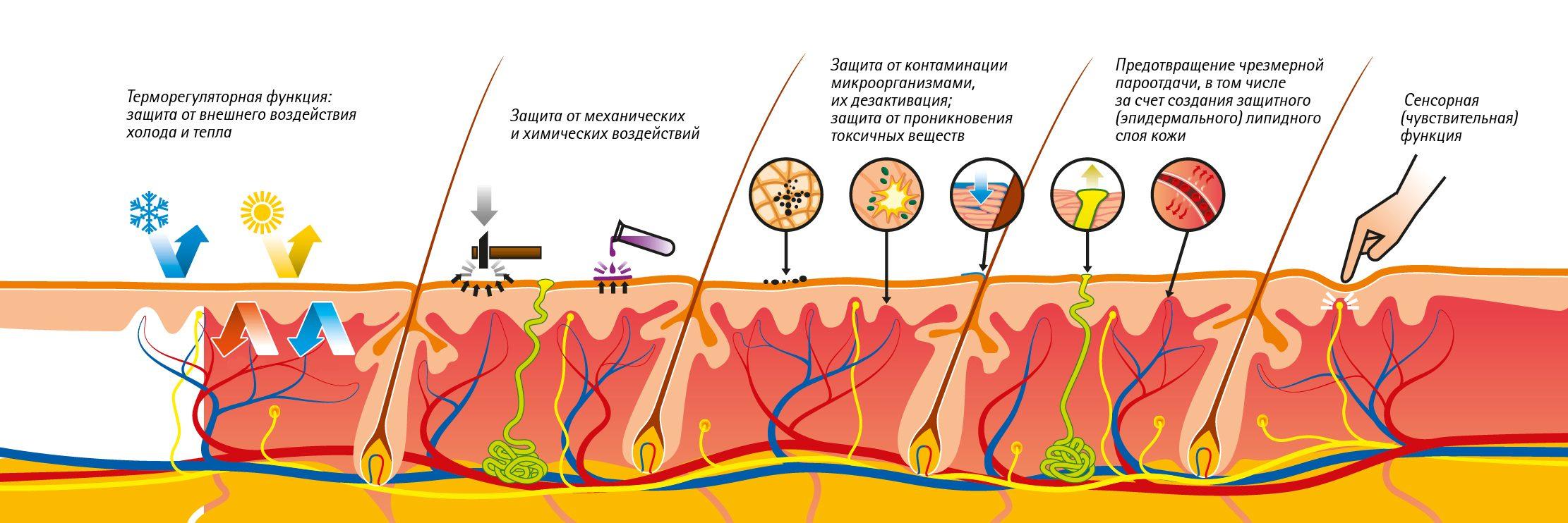 Строение кожи человека, функции и интересные факты о коже