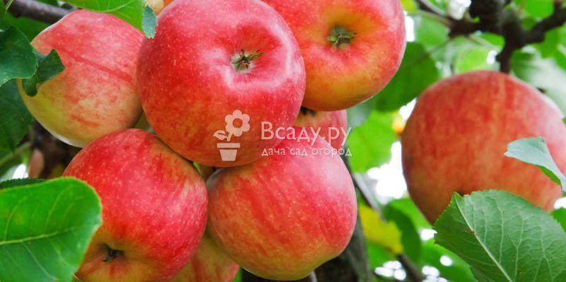 Яблоки: польза и вред для организма человека   пища это лекарство