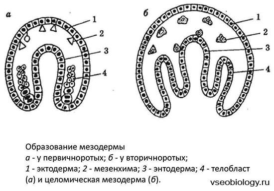 Мезодерма - это предшественник многих органов и тканей