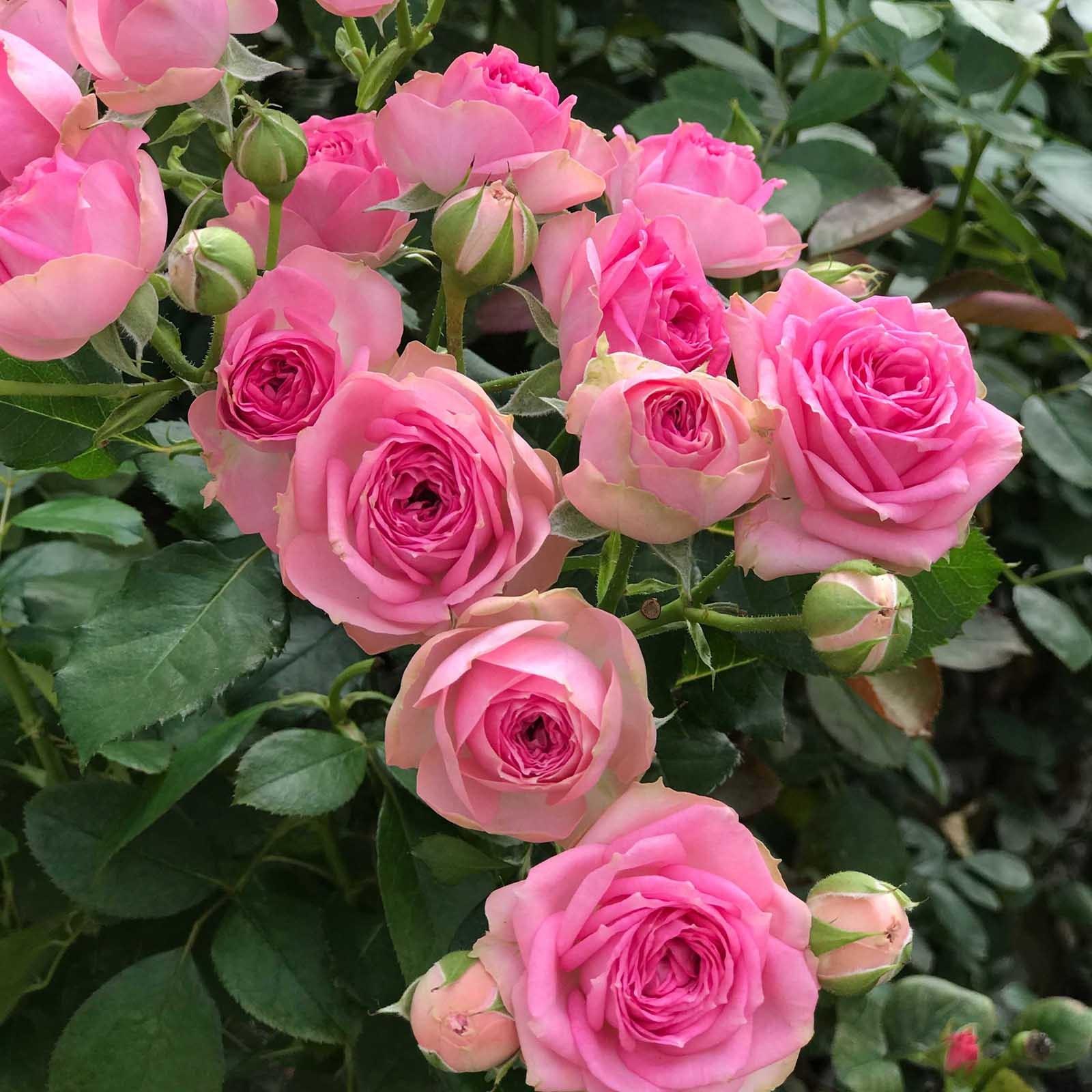 Розы спрей (сорта, фото, описание) + идеи по применению в саду