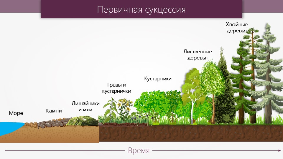 Урок 6: сукцессии - 100urokov.ru