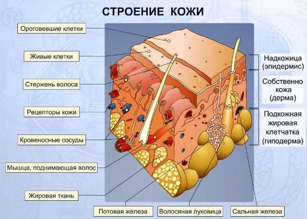 Эпидермис - что это такое? строение эпидермиса