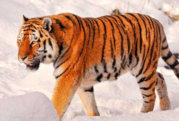 Тигр «  большие кошки