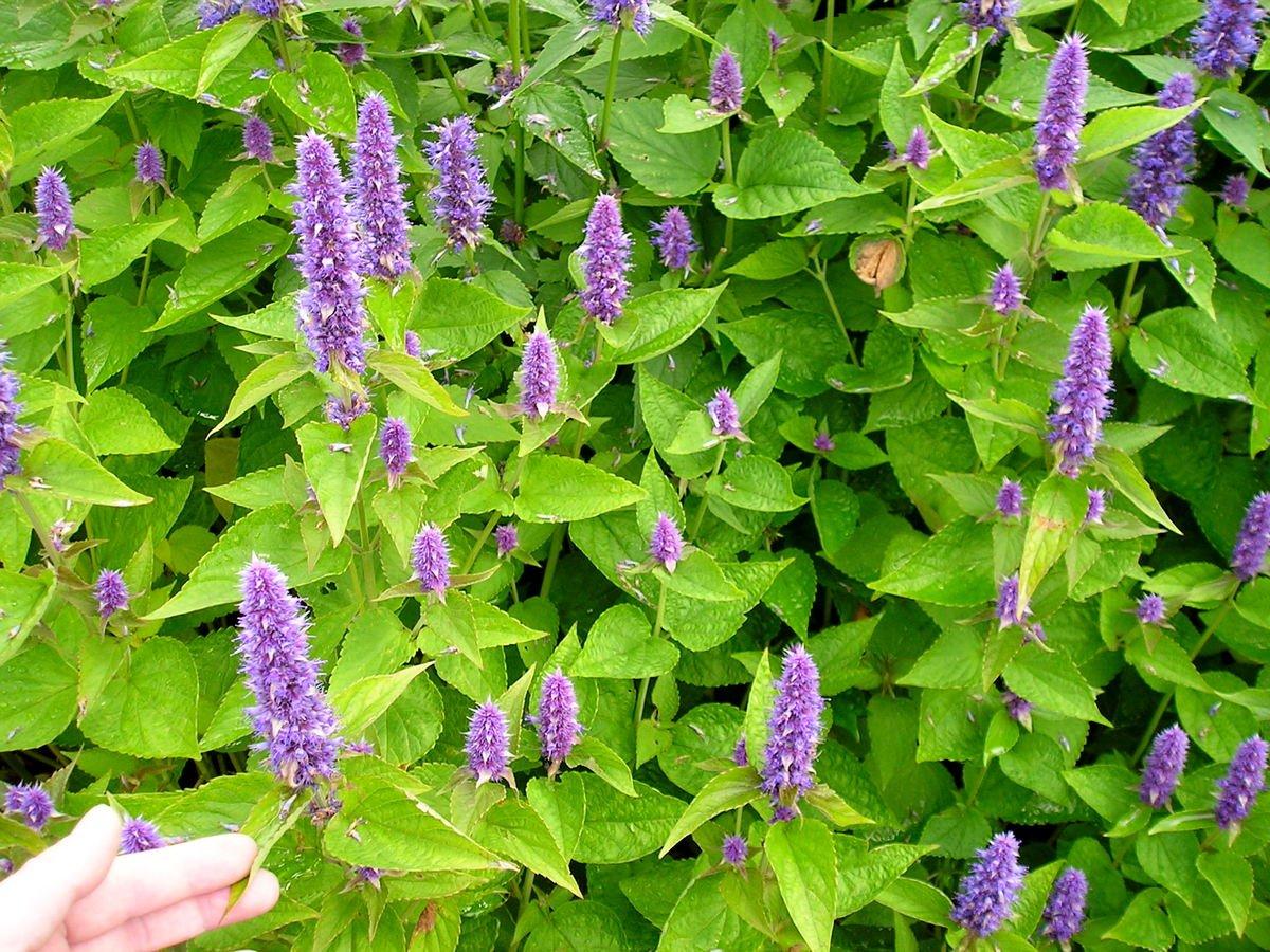 Мята — выращивание и полезные свойства. уход, размножение, виды. фото — ботаничка.ru