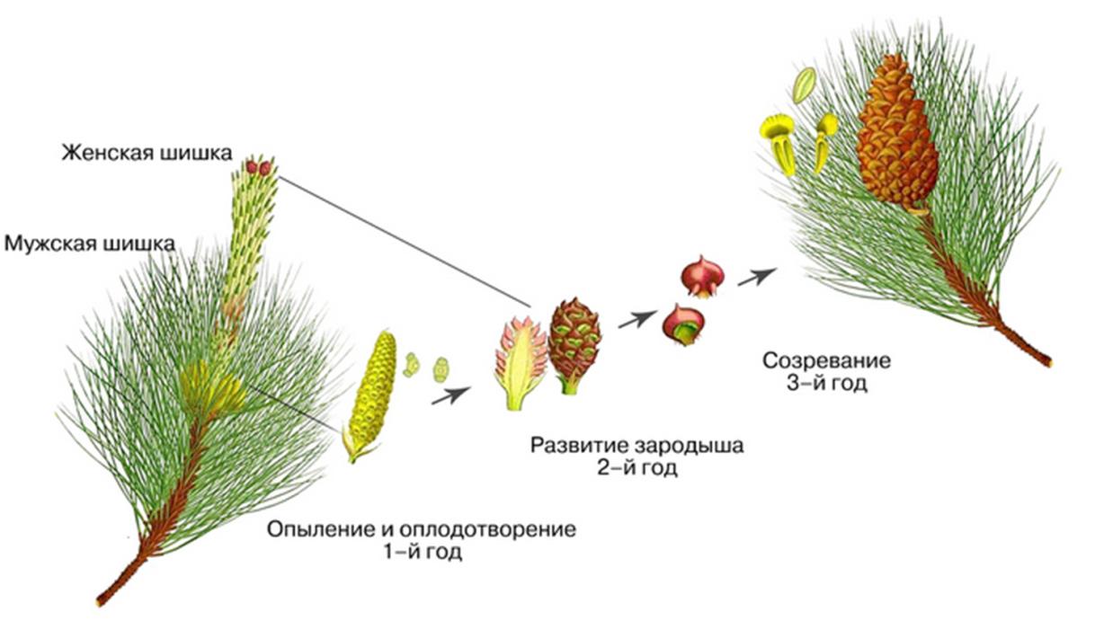 Голосеменные растения: примеры различных видов, строение, отличие от покрытосеменных