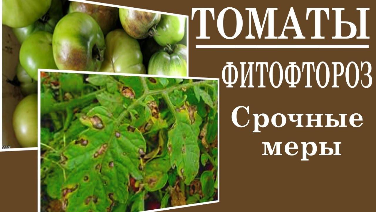 Как бороться с фитофторой на помидорах в теплице – чем и как обработать кусты | на грядке (огород.ru)