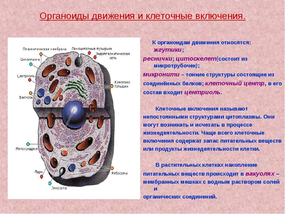 Основные органеллы клетки и их функции