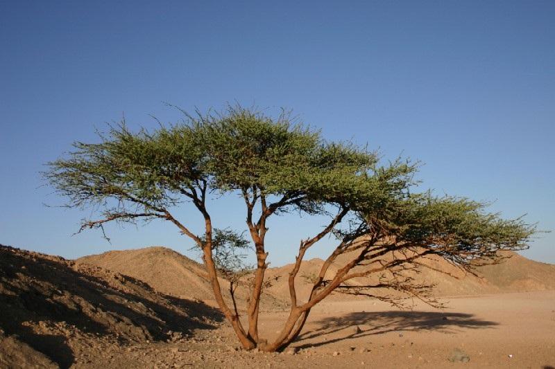 Растение пустыни саксаул. саксаул: цветущее дерево пустыни
