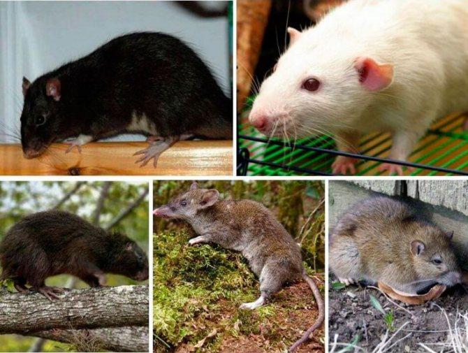 Крысы — википедия. что такое крысы