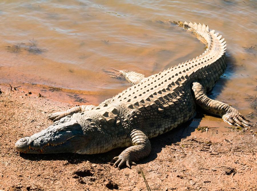 Крокодил – описание, виды, где обитает, чем питается, фото