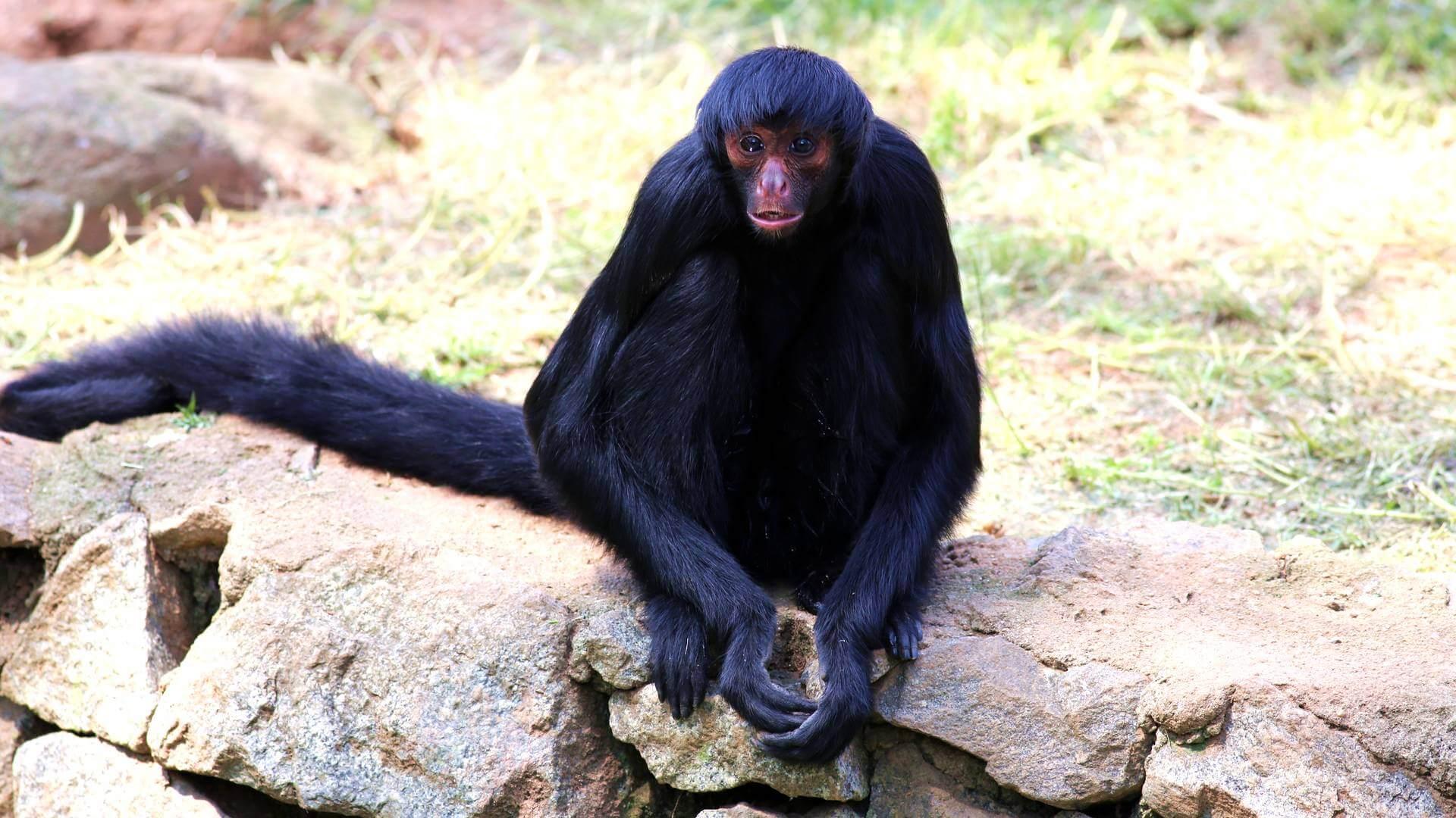 Обезьяна – описание, виды, где обитают, что едят, фото