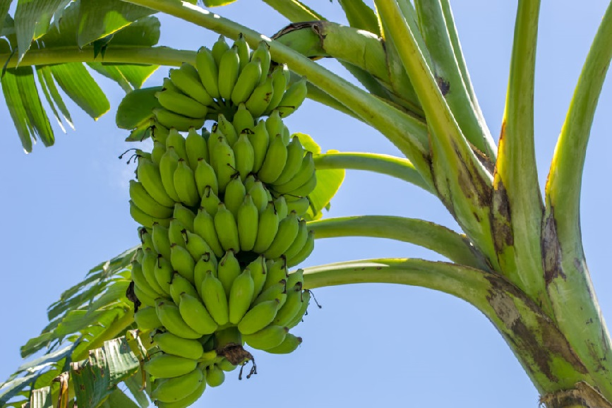 Банан: полезные свойства и вред, калорийность, состав, виды и как хранить