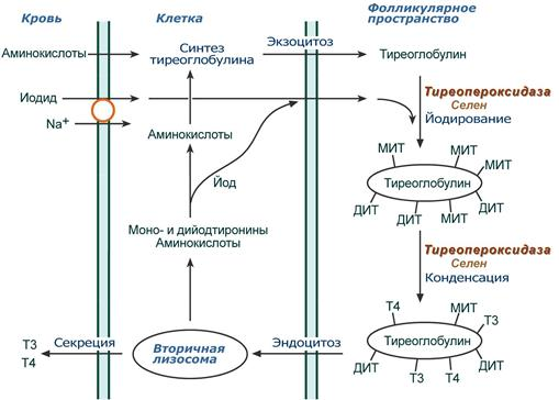Тиреоглобулин: норма, почему повышен или понижен