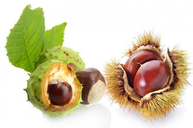 Каштан съедобный (настоящий) - описание, полезные и вредные свойства, состав, калорийность, фото, выращивание