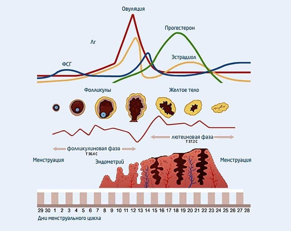 Лютеиновая фаза: что это такое. причины, симптомы и лечение лютеиновой фазы |             эко-блог
