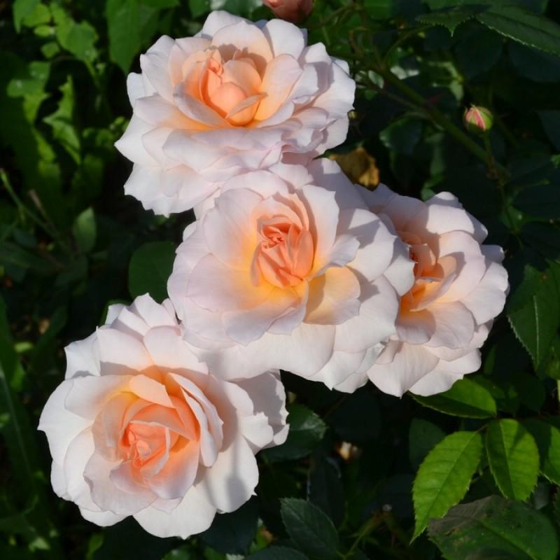 Розы-шрабы: что это такое, описание, посадка и уход