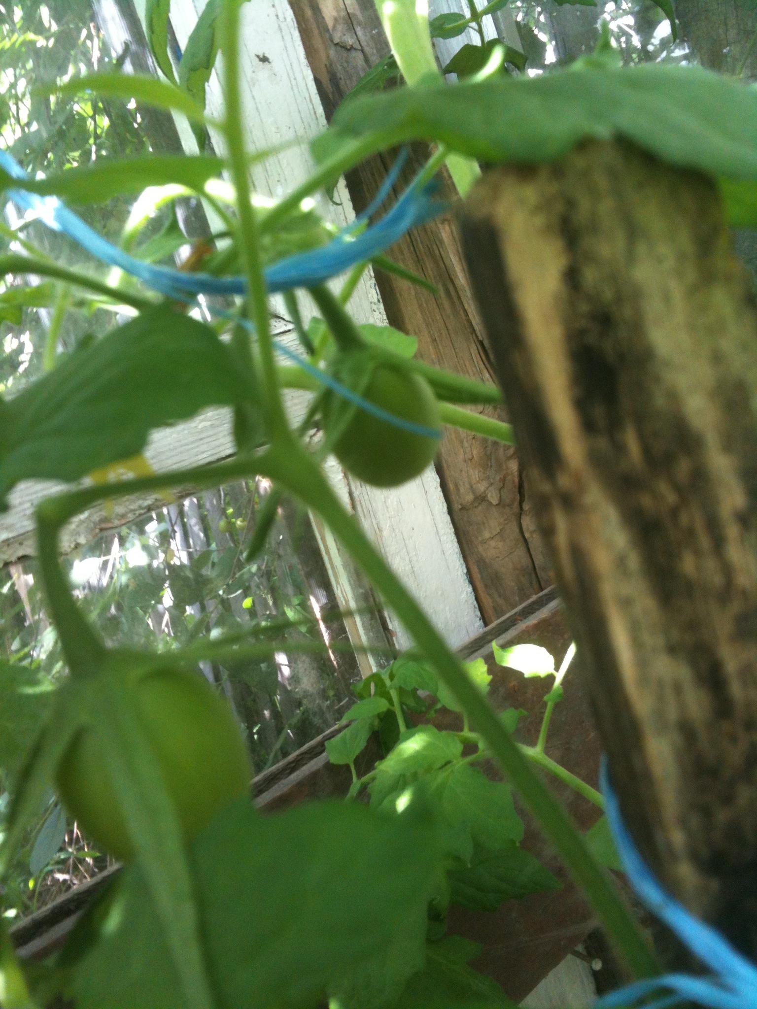 Что такое пасынки у помидор и зачем их нужно обрывать?