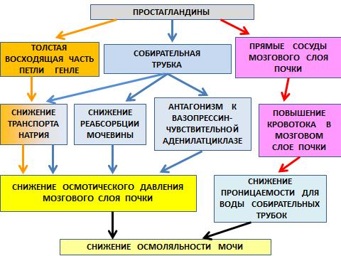 Части нефрона и их функции